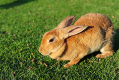 Rabbit in a green grass Royalty Free Stock Images