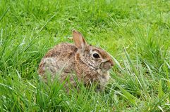Rabbit on the green grass. Wild rabbit sitting on the green grass Stock Photo