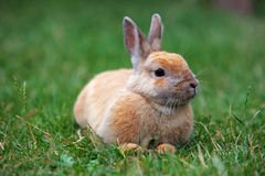 Rabbit on green nature, outdoor Royalty Free Stock Photo