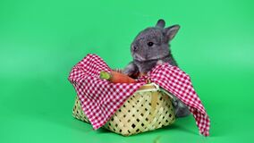 Rabbit on green screen background. Spirit animal and clever pet