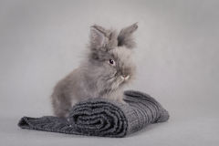 Rabbit at grey background Stock Images