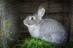 Rabbit of grey color Royalty Free Stock Photo