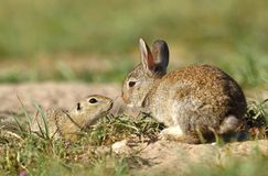 Rabbit and ground squirrel stock images