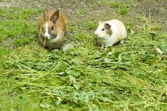 Rabbit and guinea pig Stock Photography