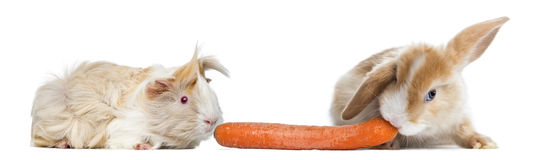 Rabbit and guinea pig eating carrot Stock Photo