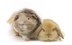 Cute Rabbit guinea pig pets isolated Royalty Free Stock Images