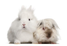 Rabbit and guinea pig portrait Royalty Free Stock Photo