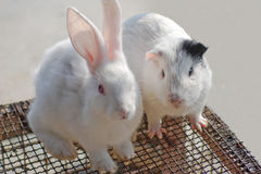Rabbit and hamster Stock Images