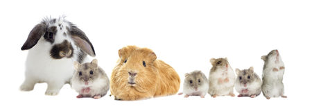 Rabbit and the hamster Stock Photography