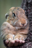 Rabbit on hand. Cute grey brown and calm rabbits in the hand of the owner. Photo made outdoor, at natural light Stock Photos