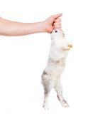 Rabbit in hand Royalty Free Stock Images