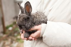 Rabbit on hands in farm. Nature background Royalty Free Stock Image