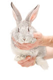 Rabbit in hands Stock Image
