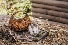 Rabbit or hare with basket on straw Stock Images