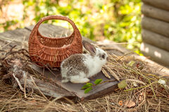 Rabbit or hare with basket on straw Stock Image