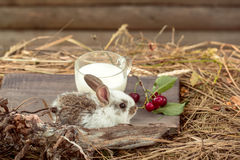 Rabbit or hare with milk and cherry on straw Royalty Free Stock Photography
