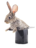 Rabbit in the hat. Royalty Free Stock Photo