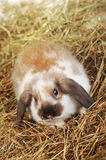 Rabbit on hay stock image