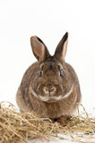 Rabbit with Hay Royalty Free Stock Photos
