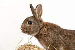 Rabbit with Hay Royalty Free Stock Photo