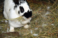 Rabbit on  hay Royalty Free Stock Photography