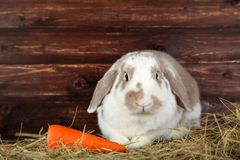 Rabbit in hay with carrot stock photography