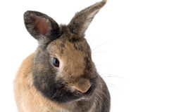 Rabbit head. A rabbit isolated on white Royalty Free Stock Image