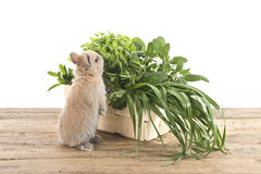 Rabbit with herbs Royalty Free Stock Image
