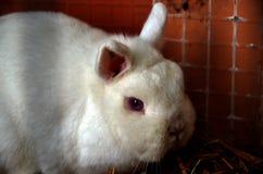 Free Rabbit Hermelin Netherlans Dwarf Royalty Free Stock Photography - 83769767