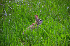 Rabbit hiding in grassland Royalty Free Stock Image
