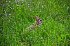 Rabbit hiding in grassland Royalty Free Stock Image