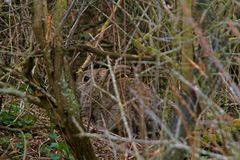 Rabbit hiding in the thicket. A shy wild Rabbit with a perfect protective color, hiding in the thicket Stock Images