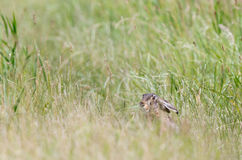 Rabbit in high grass Stock Image