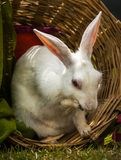 Rabbit in his own basket stock photography