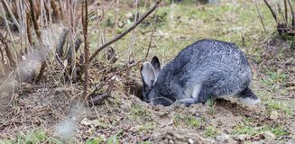 Rabbit in rabbit hole. A gray rabbit digs a hole in the garden Royalty Free Stock Photo