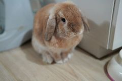 Rabbit Holland lop brown color. Holland lop rabbit bunny brown color action and looking camera stock images
