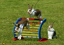 Rabbit hopping. Sport rabbit jumping over the fence royalty free stock image