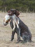 Rabbit Hunting Stock Photography