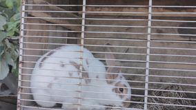 Rabbit in the rabbit hutch eating cabbage and hay.  stock video footage