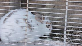 Rabbit in the rabbit hutch eating cabbage and hay.  stock footage