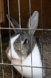 Rabbit in the hutch. Mottled rabbit in the hutch stock image