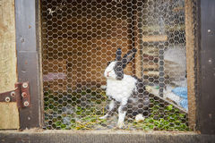 Rabbit. In the  hutch - selective focus Royalty Free Stock Image
