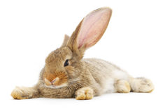 Rabbit. Image of a brown bunny rabbit stock image