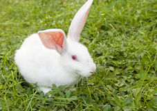 Free Rabbit  In Grass Royalty Free Stock Photography - 14892157