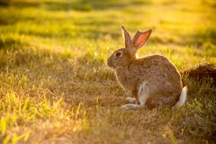 Rabbit In The Field Royalty Free Stock Images