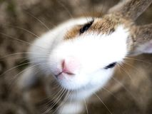 Rabbit. Island in Japan, there are sweet Stock Photo