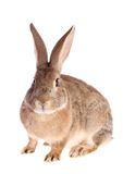 Rabbit , isolated. Royalty Free Stock Images