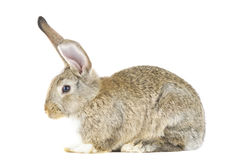 Rabbit isolated Royalty Free Stock Photo