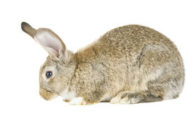 Rabbit isolated Royalty Free Stock Photography