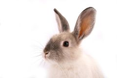 A rabbit isolated Stock Image